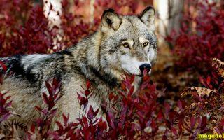 Что значит Чертог Волка по дате рождения