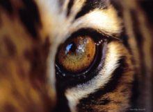 глаз тигра фото