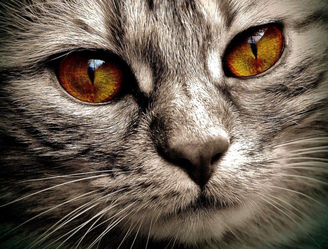 кошачий глаз фото кошки